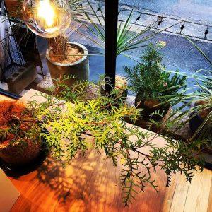這うように横に伸びる個性的なパープルピンクの花を咲かせるオーストラリアの木、グレビレア・グランドランバー デッキ上やお庭のアプローチ、玄関先に!