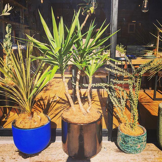 新しいグリーン入荷しました! *1枚目の写真中央…屋外向きの大きなブロンズ色の鉢のYucca[ユッカ] *2枚目の写真…暖色の細かいトゲトゲが可愛らしい多肉植物のAsclep iadaceae sp[ガガイモ] Yucca[ユッカ]鉢の受け皿付き 21,000yen+tax Asclep iadaceae sp[ガガイモ] 890yen+tax