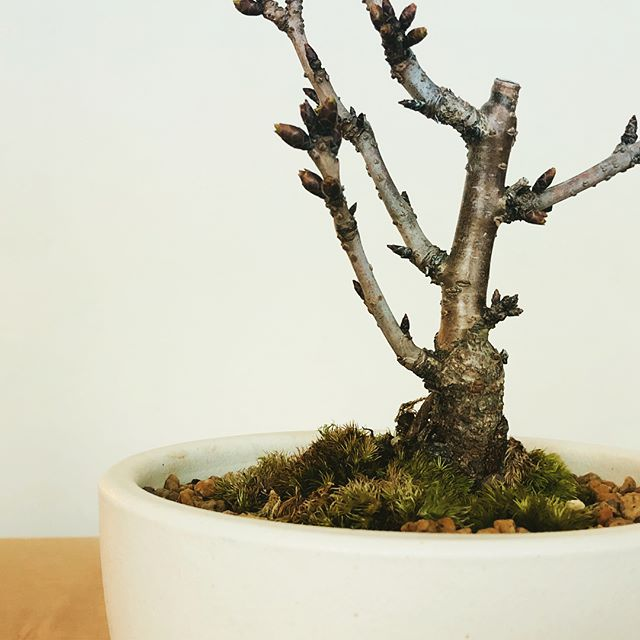 お家で、お花見。 . だんだんと暖かくなり、いよいよ桜シーズンの到来 卓上で愉しめる桜の盆栽、入荷しました。 . 背丈は小さいけれど、大ぶりの花をつけてくれます。まだまだつぼみの状態なので、成長を見守る楽しみも。 ・中川政七商店 「旭山桜」信楽鉢 受皿セット ¥7,000+tax