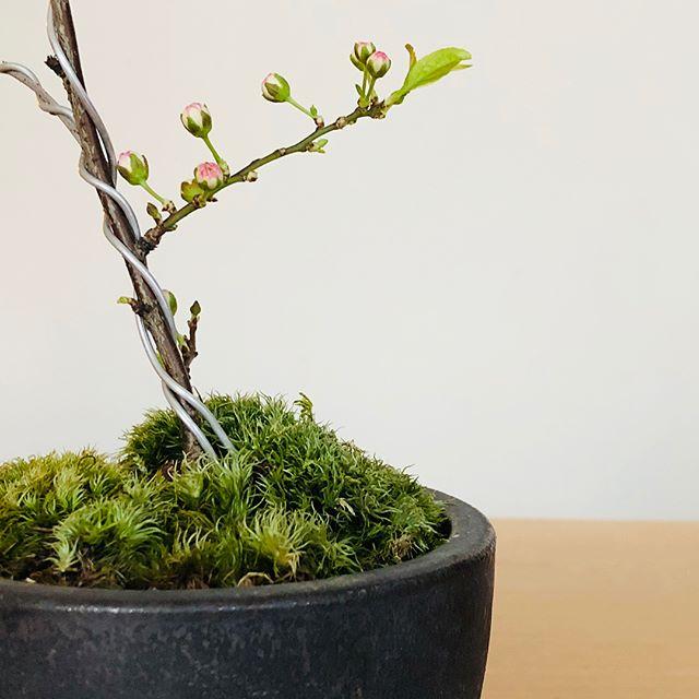 お家で、お花見。 . 卓上で愉しめる桜の盆栽。こちらは小ぶりな花が豪華に咲きこぼれる庭桜です。 一重の桜よりも開花がゆっくりなため、その様子をじっくり楽しむことができるそう。 ・中川政七商店 「庭桜」信楽鉢3号受け皿セット ¥4,800+tax
