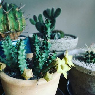 おはようございます! 本日は気持ちのいいお天気ですね。 ハナレのグリーンも陽を浴びながら少しずつ成長しています!画像のようにかわいい花が開いたものも。 . ★Asclepiadaceae sp ガガイモ ¥1,100+tax . お部屋にグリーンを取り入れると、その成長とともに気候の変化に敏感になれそうです。