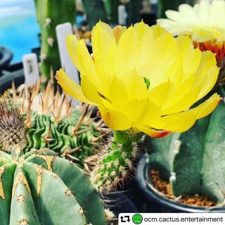 @ocm.cactus.entertainment ・・・ 毎月、第一日曜日はテーブルマーケットへLet's go!! 「テーブルマーケット」 日時:6/2(日)9:00〜15:00 会場:@hanare_altana @altana_cafe @hanare_altana 前にてサボテンの販売してます!!