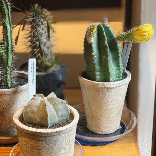 綺麗な花芽を持つサボテン  いくつかあります!/ @ocm.cactus.entertainment ︎ ︎ 明日6/7(金)11:00〜17:00オープンいたします!
