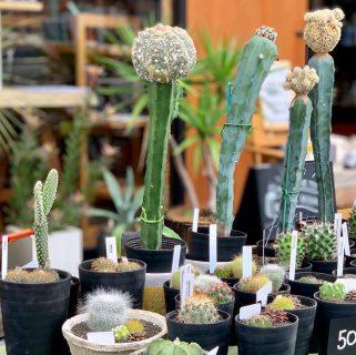 おはようございます 本日は月1のALTANAテーブルマーケット開催日! ハナレアルタナも9時からオープンしています! ハナレアルタナ前では恒例のグリーン即売会、木っ端市&ハギレ市を開催中です(^^) @ocm.cactus.entertainment ぜひ、お立ち寄り下さい!