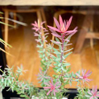 ︎ 南向きの店先はちょっとした軒もありながら、陽当たり良好。 植物たちの日々の成長がうかがえます(^^) ︎ リューカデンドロン'Safari Magic'は、アフリカ原産、ヤマモガシ科の常緑低木です。 葉も花も楽しめる植物! どんな花を咲かせてくれるか楽しみです ︎ リューカデンドロン'Safari Magic' 3,000円+税 キューブポット(鉢) 3,000円+税 @ocm.cactus.entertainment ︎ ︎ ︎ 7/26(金)本日も17時までオープンいたします。