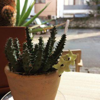 ︎ お店の片隅で 密かに咲いております。 ヤマ造園 ガガイモ Asclepiadaceae sp ¥1.100+税 本日10/28(月) 17:00まで営業しております。