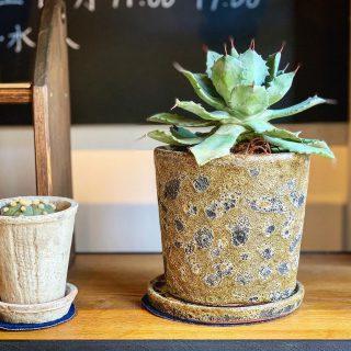 ︎ 新しいグリーン入りました! Agave potatorum アガベ 雷神 8,000円+税 @ocm.cactus.entertainment ︎ 10/4(金)本日11:00〜17:00オープンいたします! 本日ですが、14:00〜15:00までの予定で納品の為、一時的にクローズさせていただく時間がございます。 ご迷惑をおかけしますが、どうぞよろしくお願いします🏻 ︎