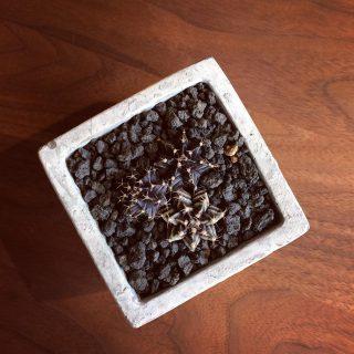 ︎ モノトーンの多肉植物 スタイリッシュなお部屋に合いそうですね! ・ ギムノカリキウム「牡丹玉」 ¥2.500 ・ 本日11/25(月) 11:00〜17:00まで営業しております。 ・