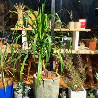 ︎ 新しいグリーン 店先のグリーンが変わりました! まだ日中は暖かいので、屋外でもOKですが、寒さが厳しくなる頃には鉢ごと移動して、室内で育てると良いそうです️ @ocm.cactus.entertainment ︎ 11/1(金)本日も17時までオープンいたします。