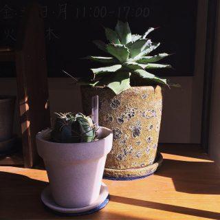 ︎ 暖かな日差しに植物たちも気持ちよさそう ・ アガベ 雷神 Agave potatorum ¥8.000+税 フェロカクタス 天城 Ferocactus macrodiscus var.oaxacdensis ¥2.000+税 ・ 本日11/17(日) 17:00まで営業しております。 ・