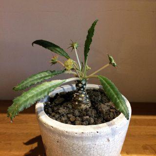 ︎ 今にも動き出しそうな植物 ・ 個性的な植物 ご用意しております。 お気に入りをぜひ見つけに来てください! ・ ドルステニア・クリスパ ¥3.500+税 ・ 本日11/25(月) 17:00まで営業しております。 ・