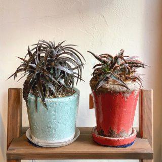 ︎ 刺々しいペア。 美しいものにはトゲがあるもの。 11/30(土)本日17時までオープンしております。 @ocm.cactus.entertainment