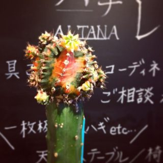 ︎ 金平糖のようなサボテン なんだか美味しそう ・ ギムノカリキウム 緋牡丹錦 Gymnocalycium mihanovichii v.friendrichii HIBOTAN NISHIKI ¥5.000+税 ・ 本日12/2(月) 17:00まで営業しております。 ・