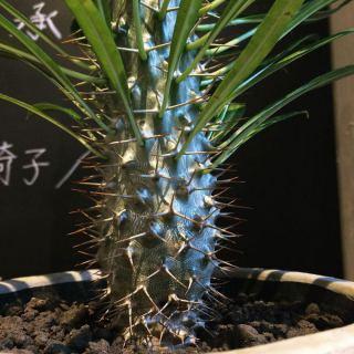 ︎ メタリックな色がカッコいい植物 ・ パキポディウム・ラメレイ Pachypodium lamerei ¥5.000+税 ・ 本日1/26(日) 17:00まで営業しております。 ・