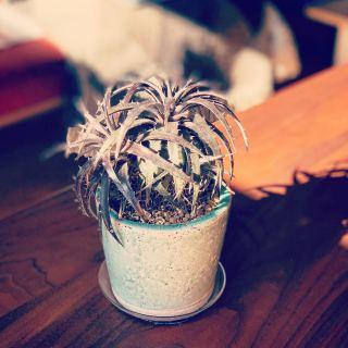 ︎ 刺々しいけど、憎めない可愛さ。 Dyckia @ocm.cactus.entertainment 本日2/29(土)17時までオープンしております。