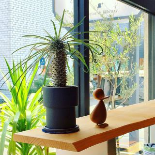 ︎ 天気のいい日は植物も元気そうです! ・ 【ヤマ造園】 パキポディウム・ラメレイ Pachypodium lamerei ¥7,000+税 ・ 本日6/29(月) 17:00までオープンしております。 . 只今入店可能です! . フリーでご来店の際にはお待ちいただく場合がございます。空いていれば1組ずつのご案内をさせていただきます。 家具打合せのご来店は、スムーズなご案内の為、ご予約をおすすめいたします?♀️ ・ ・ 感染症予防対策の為、何卒ご理解、ご協力のほどよろしくお願い申し上げます。 #インテリアショップ #パキポディウム #インテリアグリーン